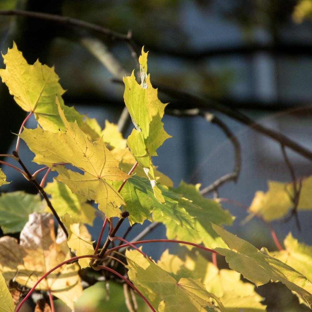 Herbstblätter an einem Baum in der Sonne
